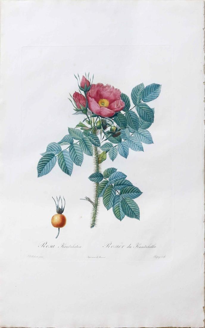 Redoute Rose Stipple Engraving