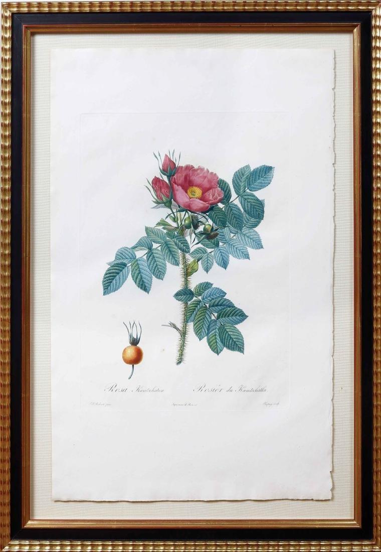 Redoute Rose Stipple Engraving - 2