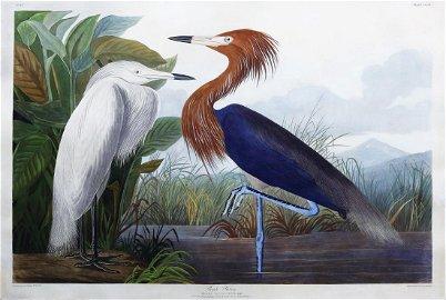 Audubon Aquatint, Purple Heron
