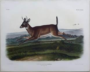 Audubon Lithograph LongTailed Deer
