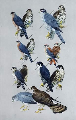 Peterson Watercolor Hawks