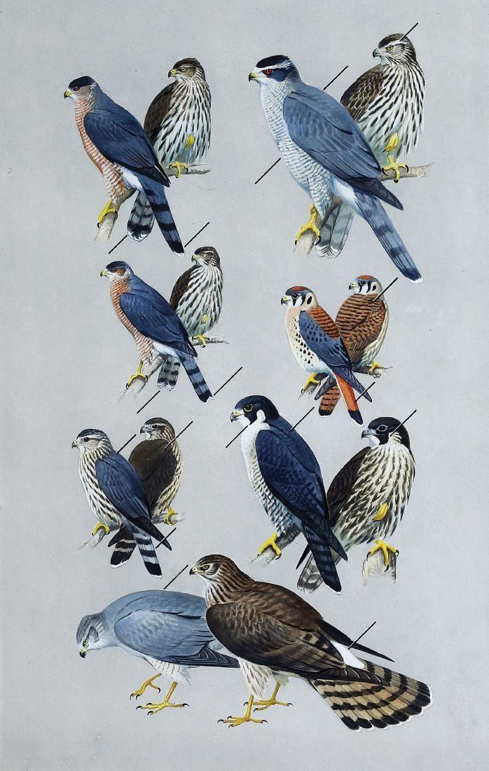 Peterson Watercolor, Hawks