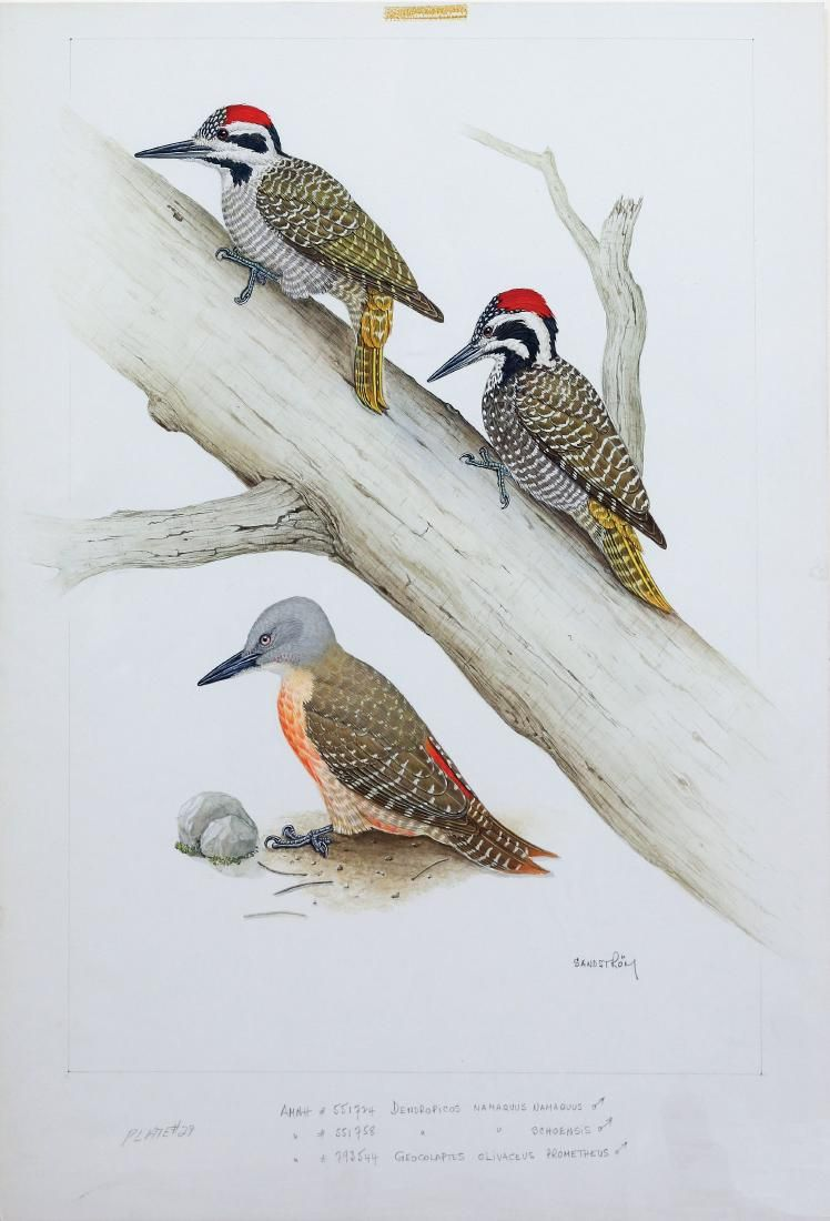 Sandstrom Watercolor, Woodpeckers