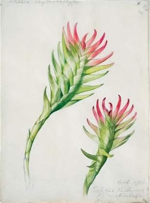 Mee Watercolor Bromeliad