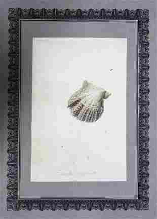 Nodder Watercolor Shells