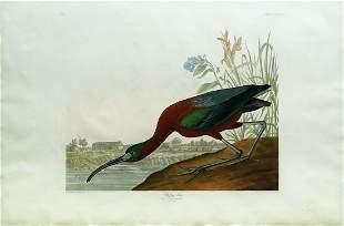 Audubon Aquatint, Glossy Ibis