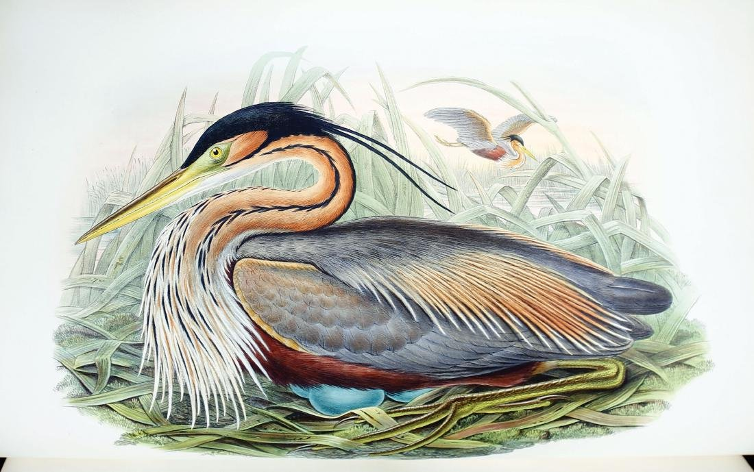 Gould Birds of Great Britain - 5