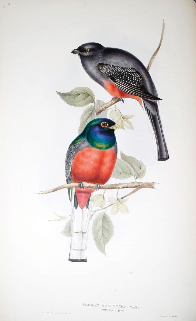 Gould Family of Trogons - 3
