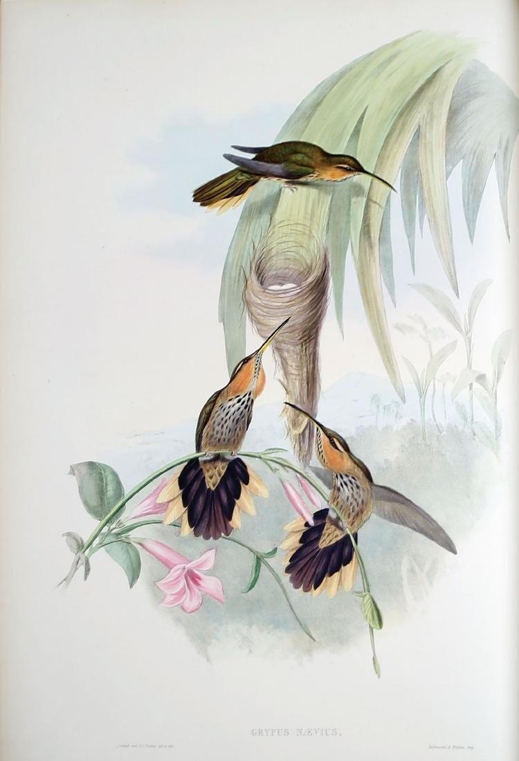 Gould Hummingbirds - 2