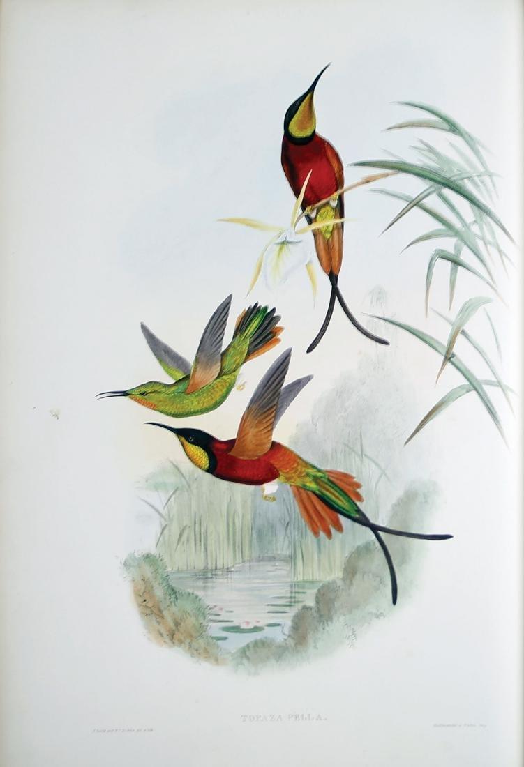 Gould Hummingbirds - 3