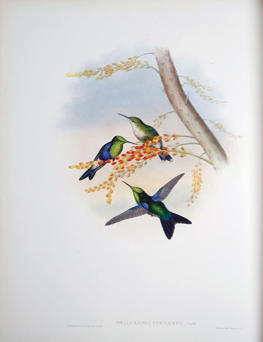 Gould Hummingbirds - 4