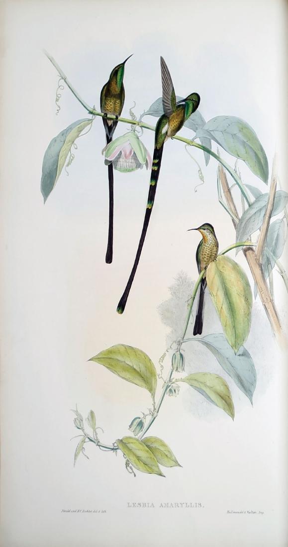 Gould Hummingbirds - 5
