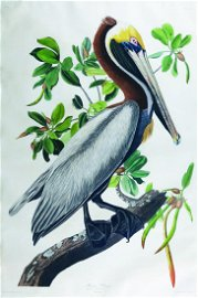 Audubon Bird Engraving, Brown Pelican