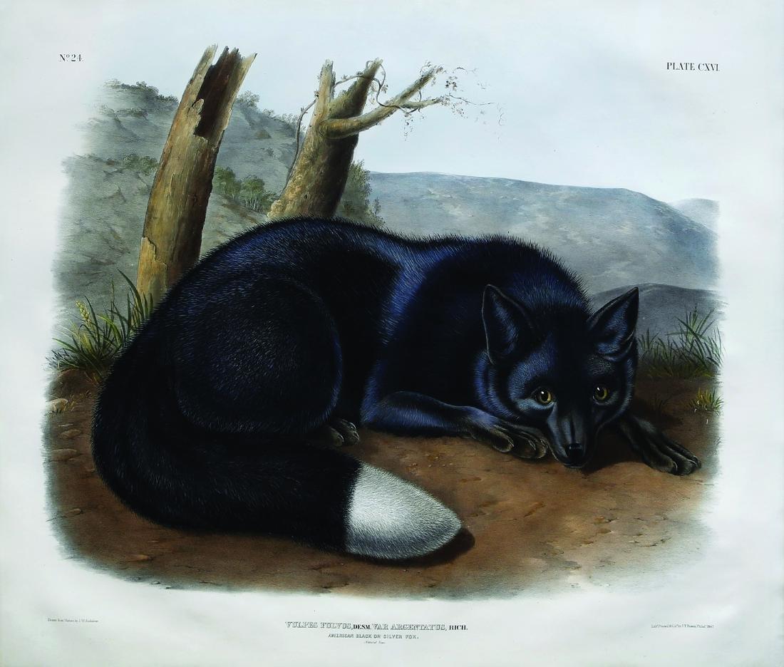 Audubon Quad Lithograph, Silver Fox