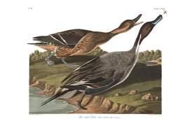 Audubon Aquatint Pintail Duck