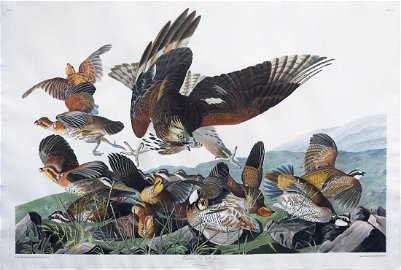 Audubon Aquatint Virginian Partridge
