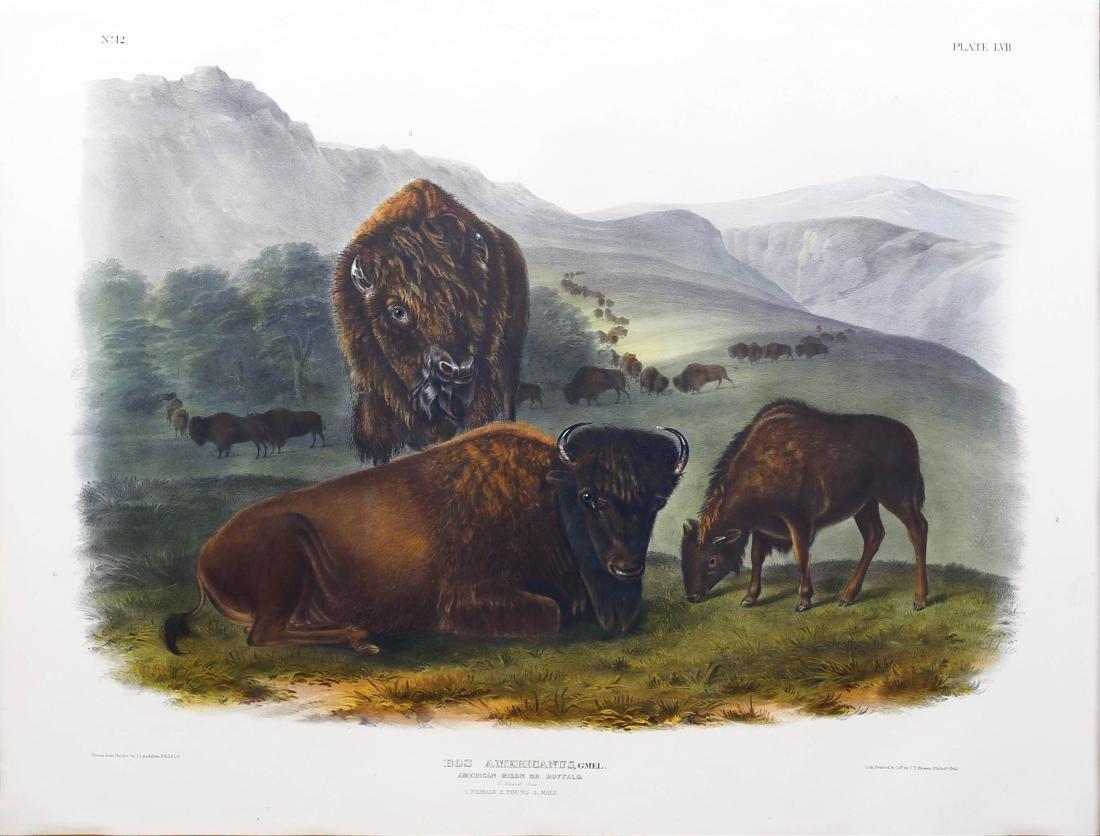 Audubon Lithograph Female Bison