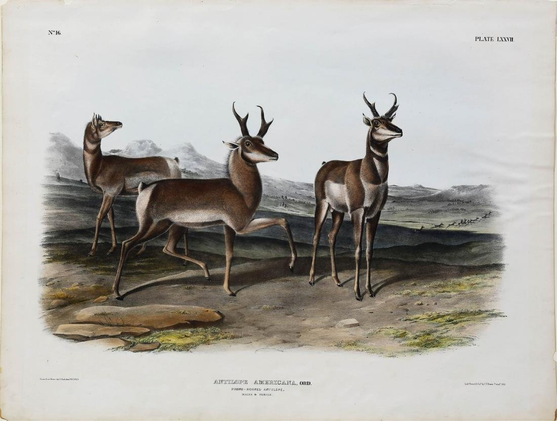 Audubon Lithograph Antelope