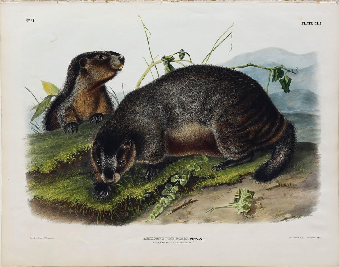Audubon Lithograph Hoary Marmot