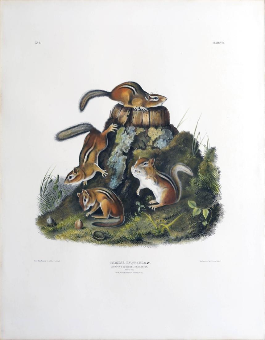 Audubon Lithograph Chipping Squirrel