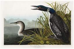 Audubon Aquatint, Great Northern Diver or Loon