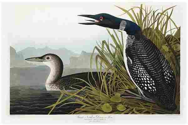 Audubon Aquatint, Great Northern Diver or Loon