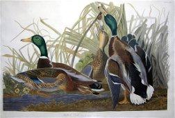 Audubon Aquatint, Mallard Duck