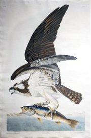 Audubon Aquatint, Fish Hawk or Osprey