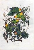 Audubon Havell Aquatint, Carolina Parrot