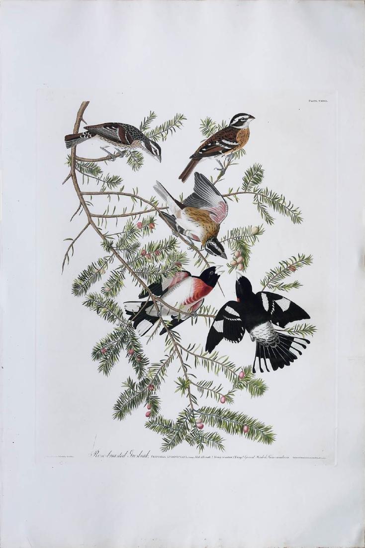 Audubon Havell Aquatint, Rose-Breasted Grosbeak