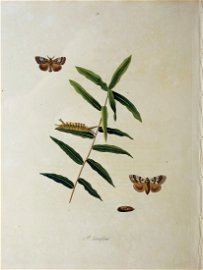 Abbot engraving of Insects of Georgia