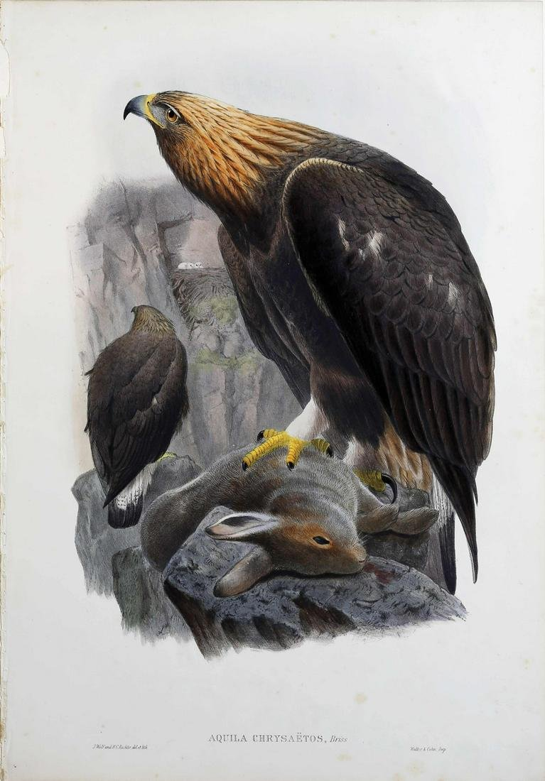 Gould Birds of Great Britain Lithograph