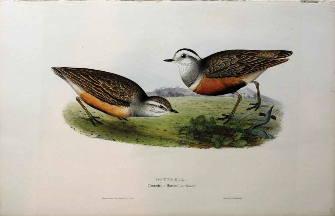 Gould Birds of Europe Lithograph