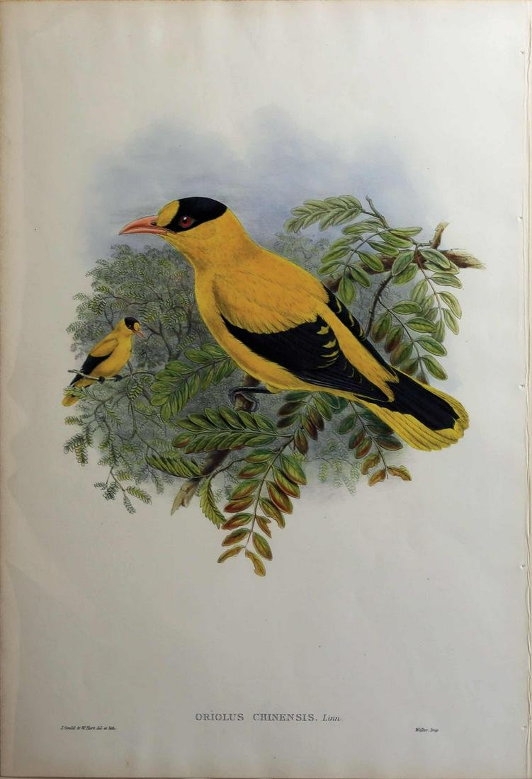 Gould Birds of Asia Lithograph