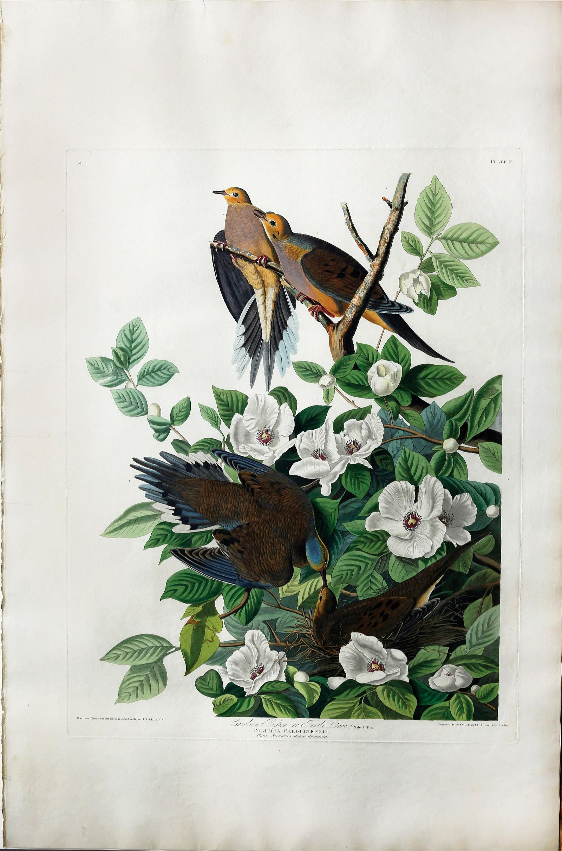 Audubon Aquatint, Carolina turtle Dove