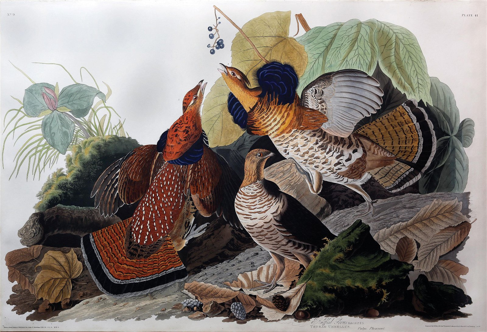Audubon Aquatint, Ruffed Grous