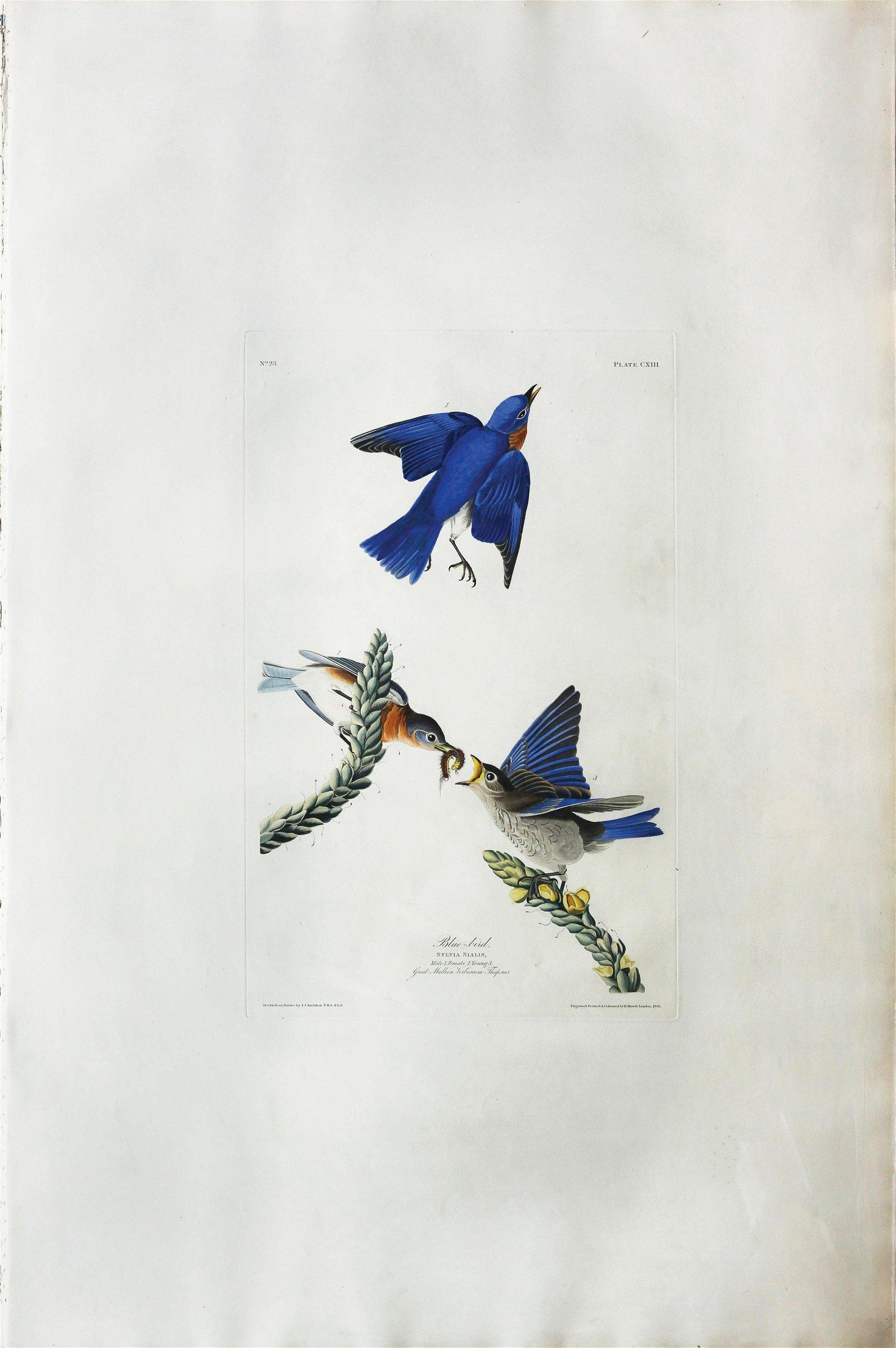 Audubon Aquatint, Blue Bird