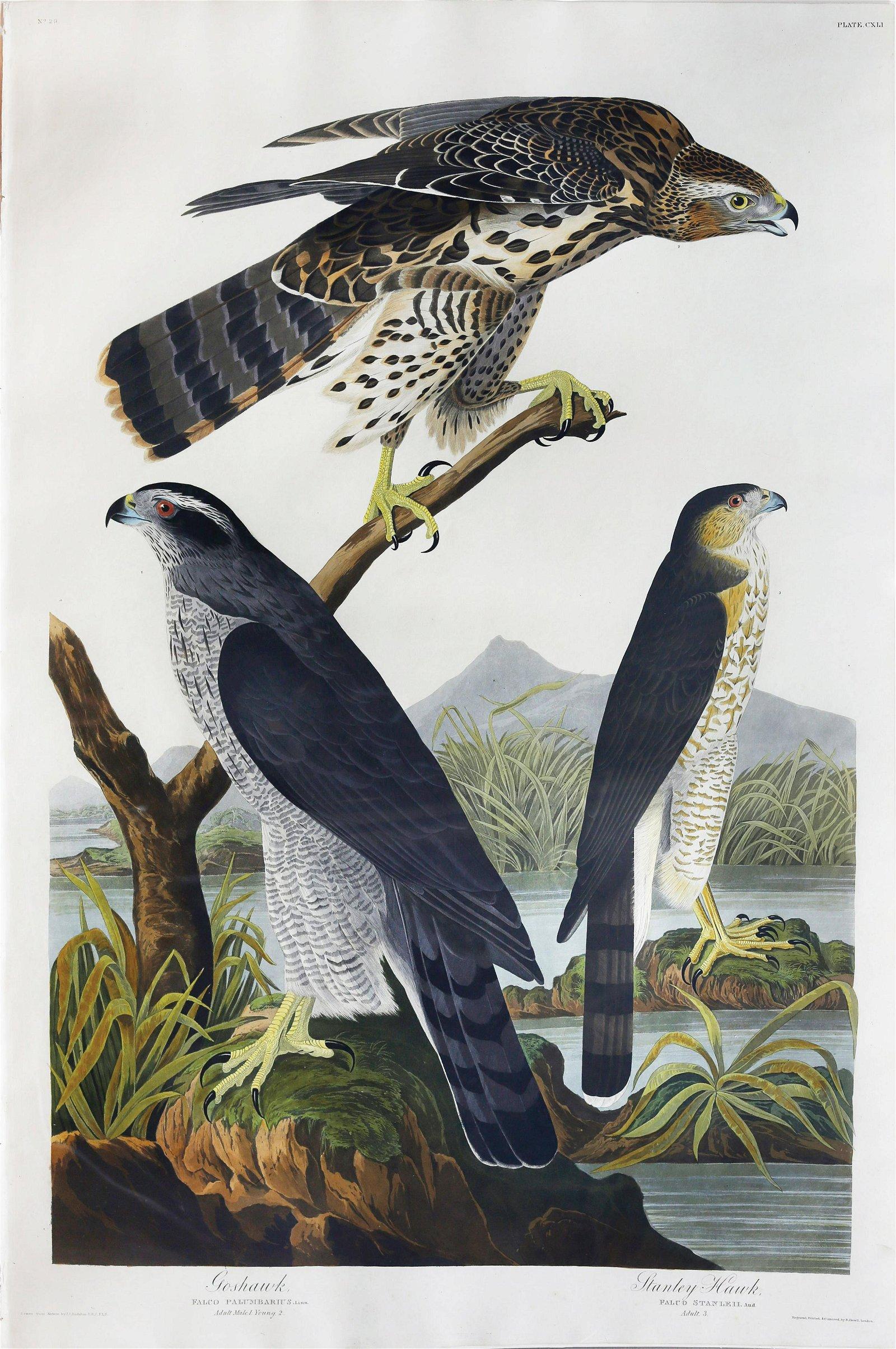 Audubon Aquatint, Goshawk
