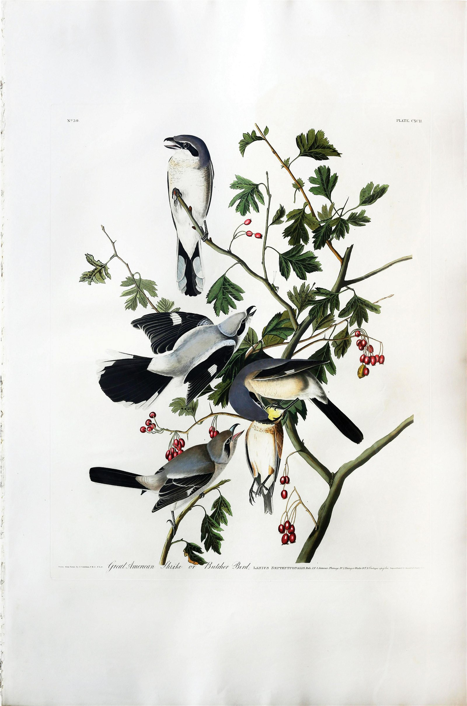 Audubon Aquatint, Great American or Cinereous Shrike