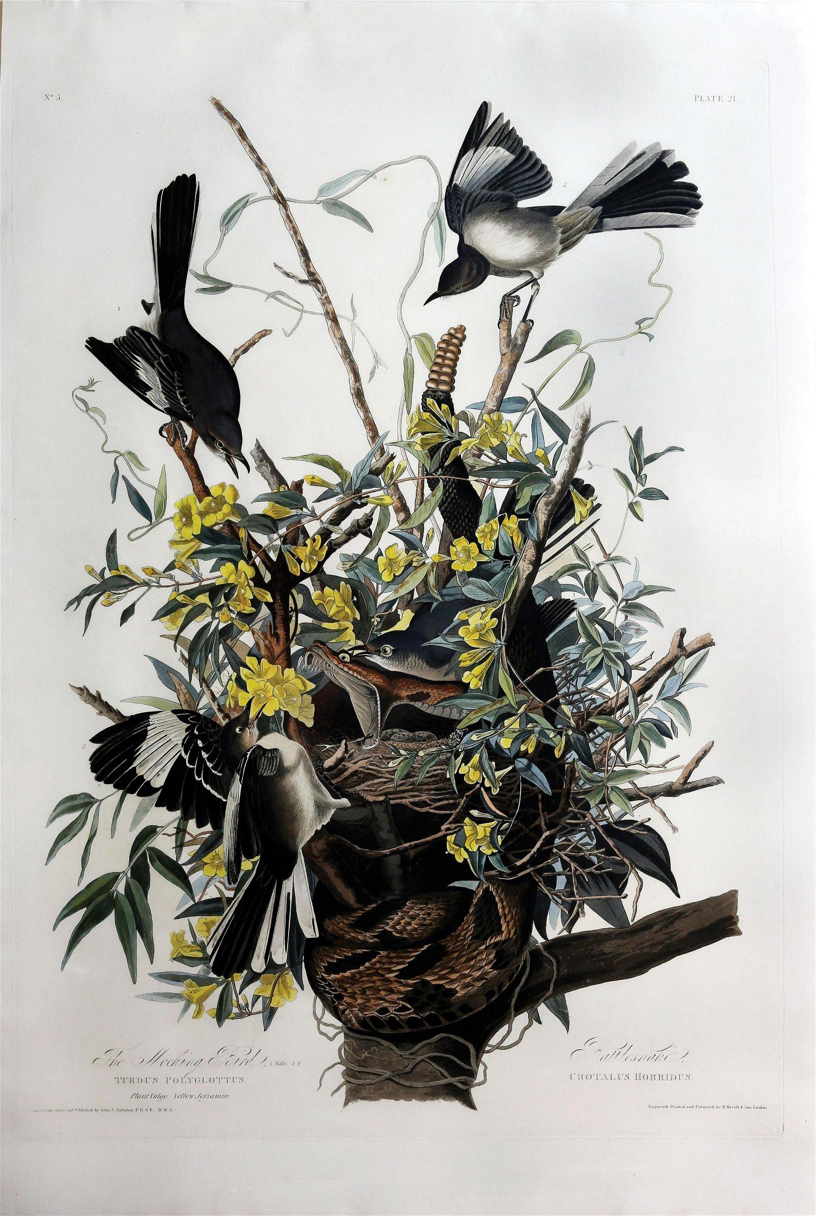 Audubon Aquatint, Mockingbird