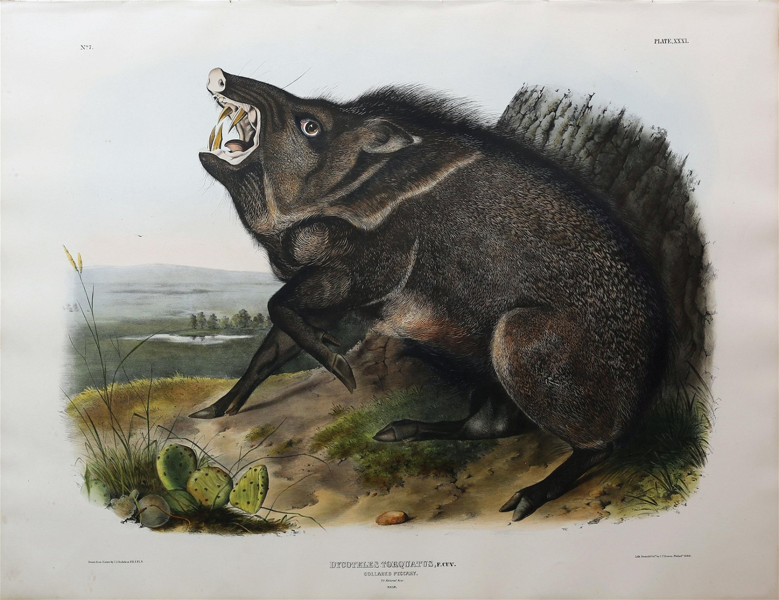 Audubon Lithograph, Collared Peccary