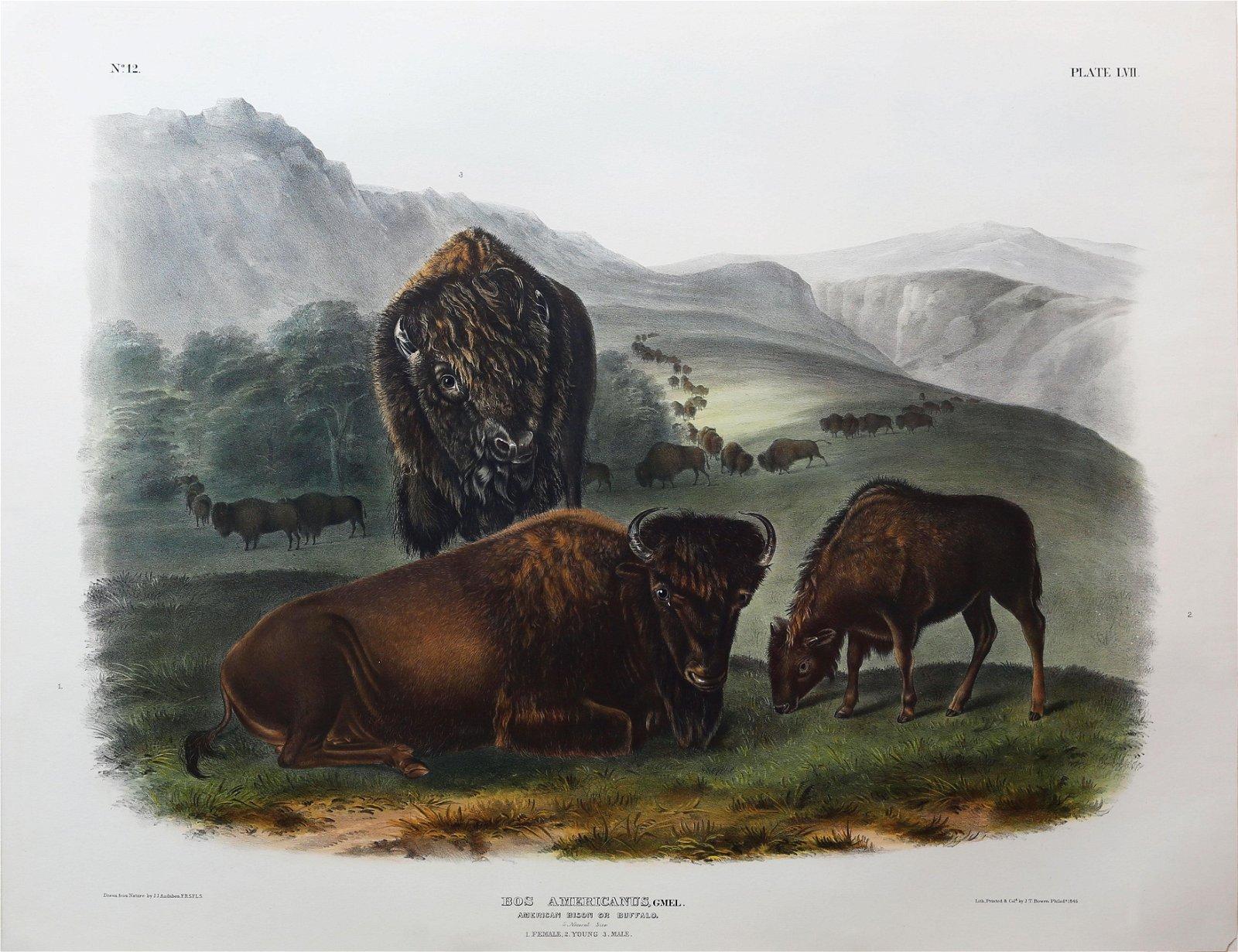 Audubon Lithograph, Bison Male