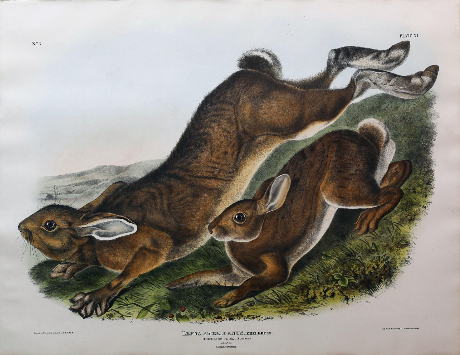 Audubon Lithograph, Northern Hare (Summer)