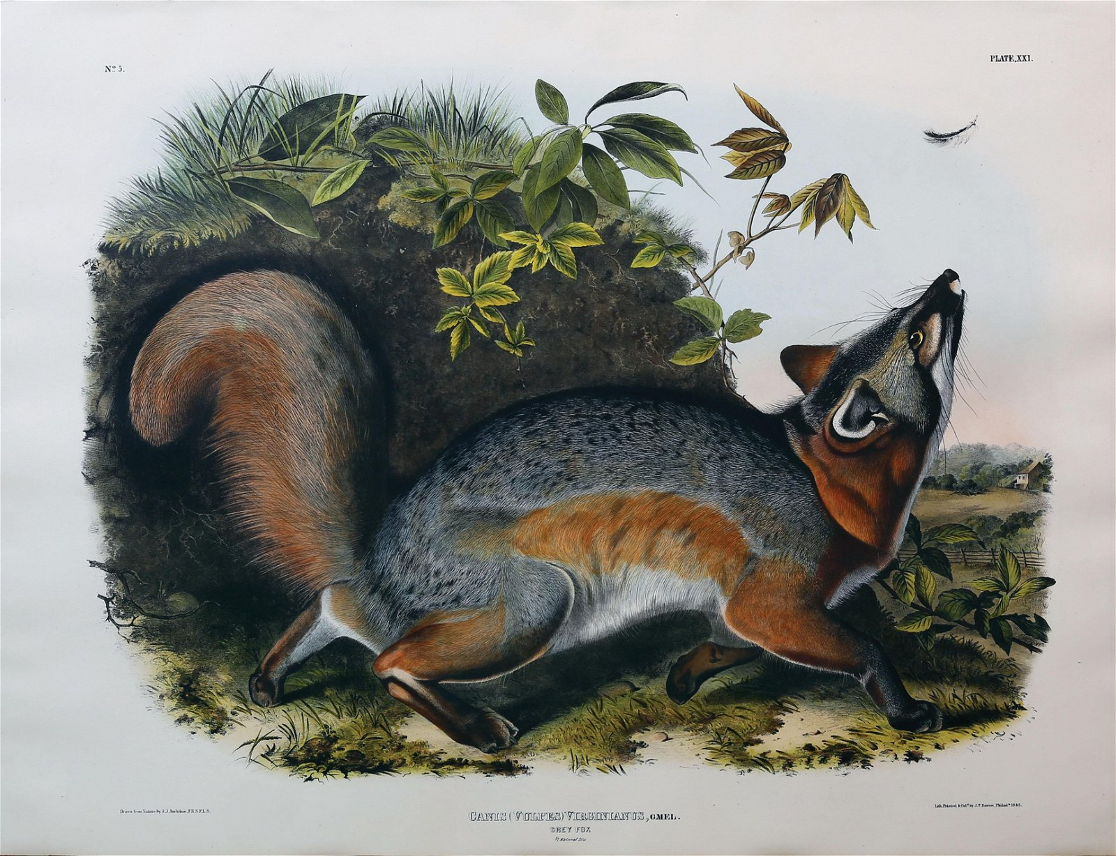 Audubon Lithograph, Grey Fox