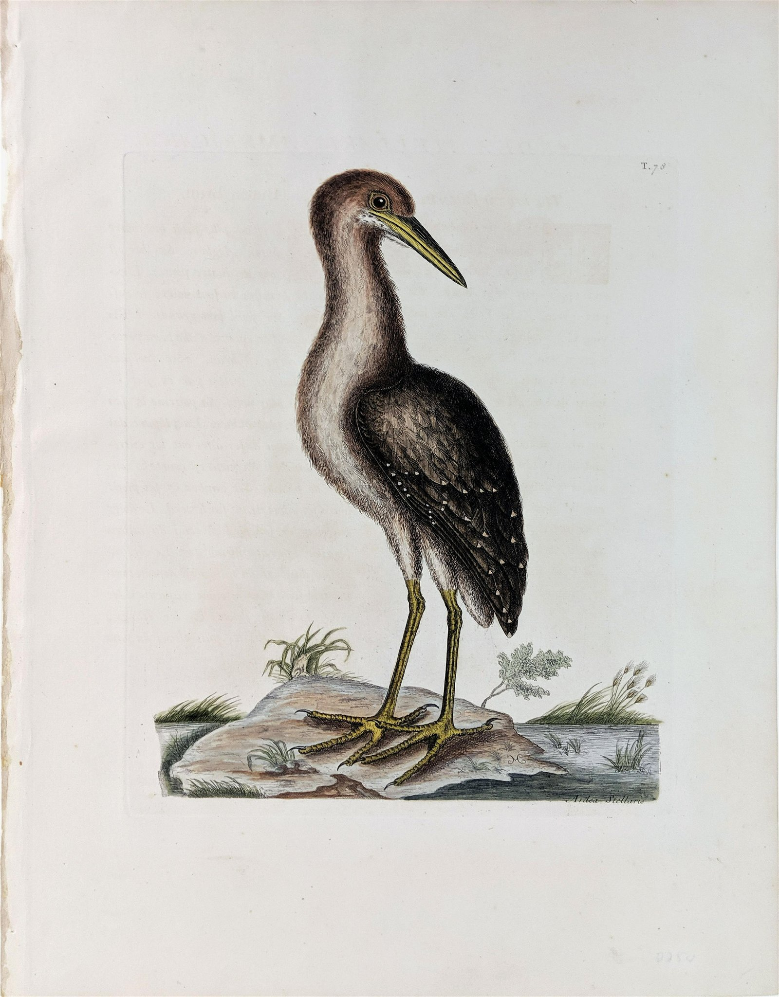 Catesby Engraving Brown Bittern
