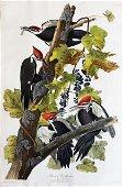 Audubon Aquatint Pileated Woodpecker
