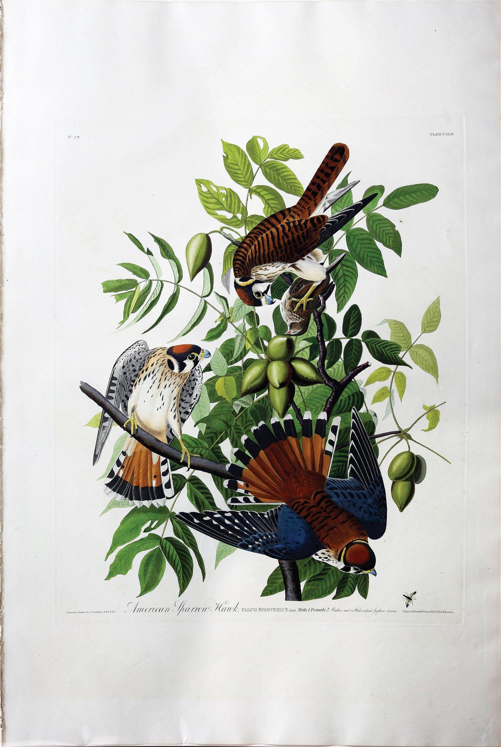 Audubon Aquatint American Sparrow Hawk
