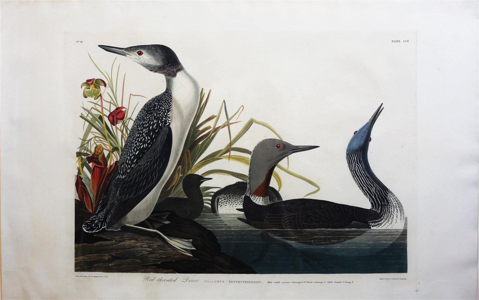 Audubon Aquatint Red-Throated Diver