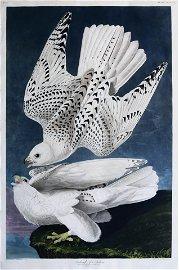 Audubon Aquatint, Iceland or Jer Falcon