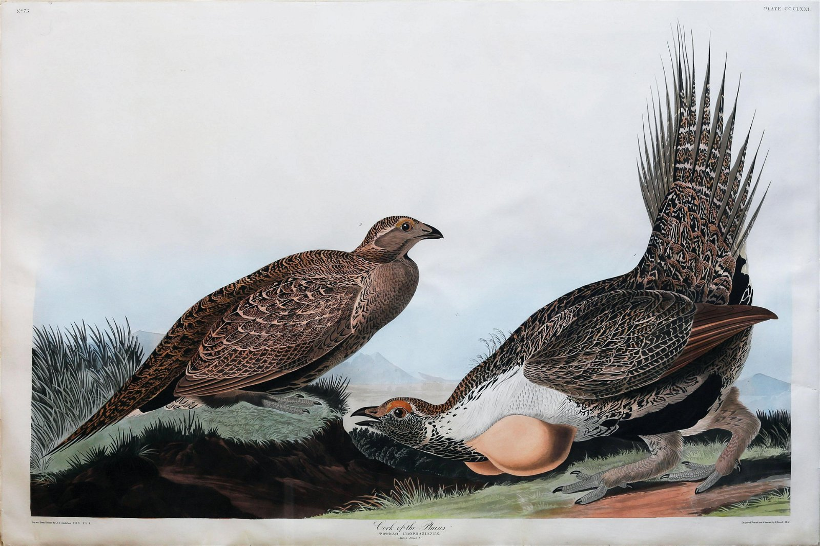 Audubon Aquatint, Cock of the Plains